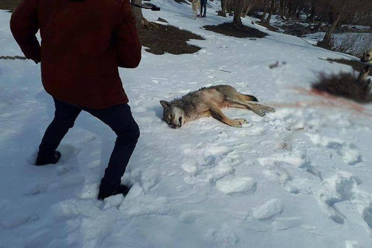 Ağrı'da köye inen kurt köpekler tarafından parçalandı