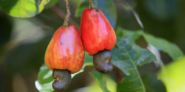Çok ilginç! Bu meyveden elde edilen kuru yemiş hangisi?
