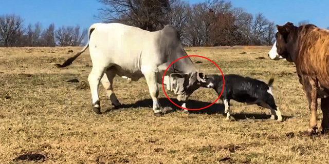 İnatçı keçi kocaman ineğe kafa tuttu