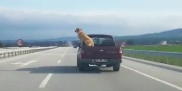 Kamyonet kasasında köpeğin tehlikeli yolculuğu
