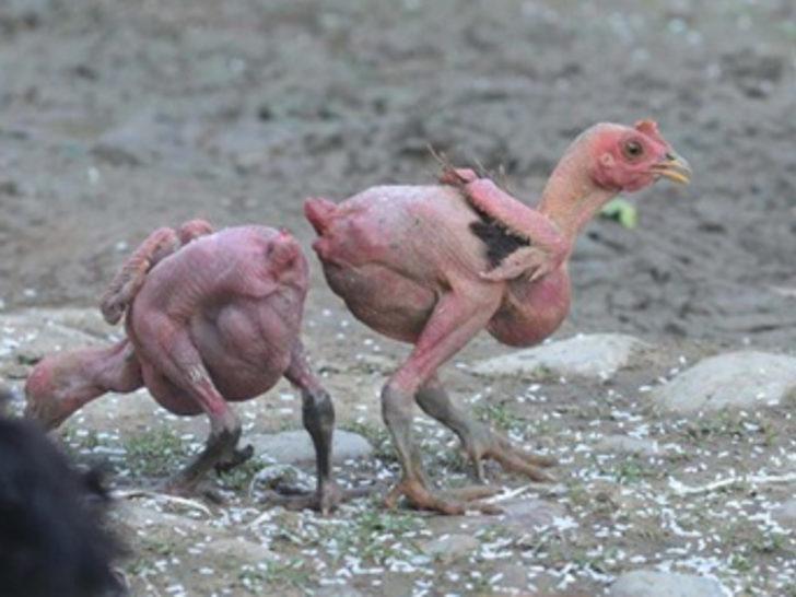İsrail'de uygulanan 'tüysüz tavuk' yöntemine hayvanseverlerden tepki yağıyor