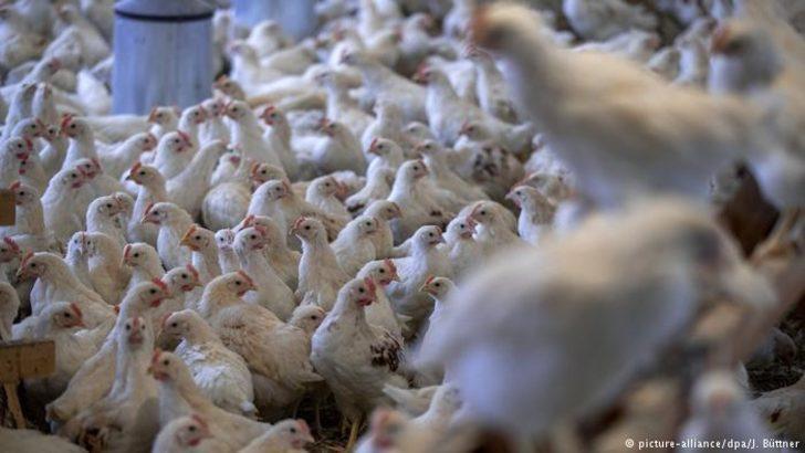 Rusya Türkiye'ye kanatlı hayvan satacak