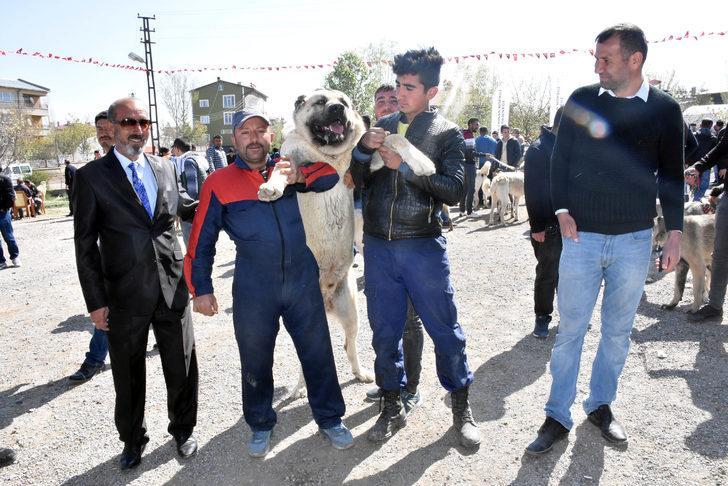 Sivas'ta Kangal köpekleri yarıştırıldı