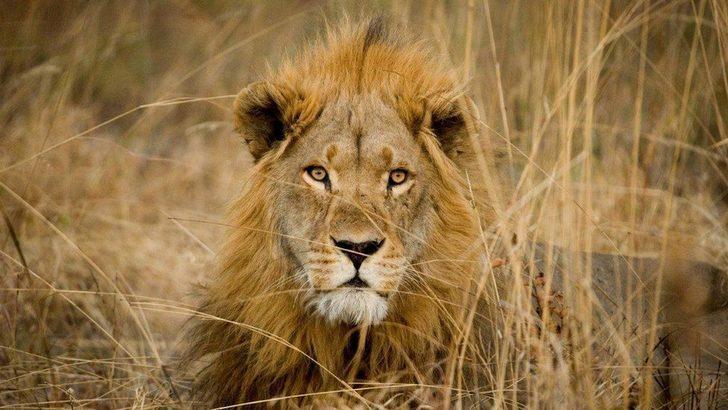 'Karizmatik' hayvanların soyları tükeniyor