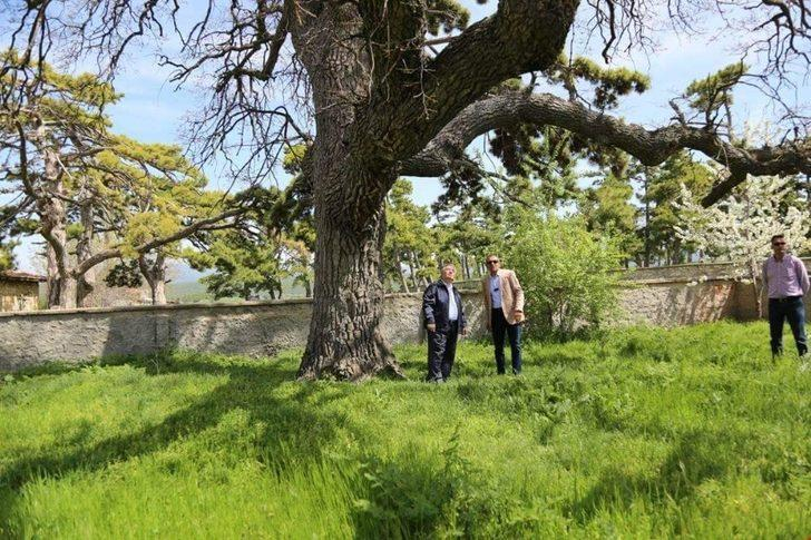 Vali Nayir, 5 asırlık meşe ağacını inceledi