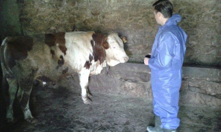 Bitlis'te şap aşısı çalışması