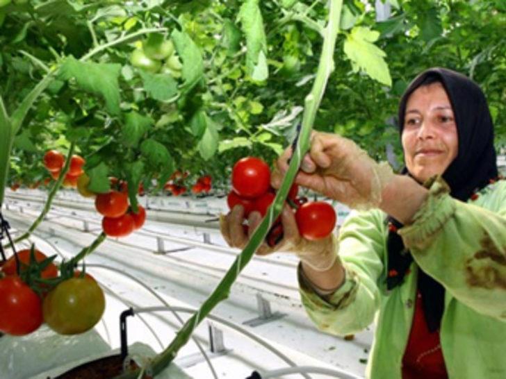 Karda domates yetiştirip dünyaya satıyor