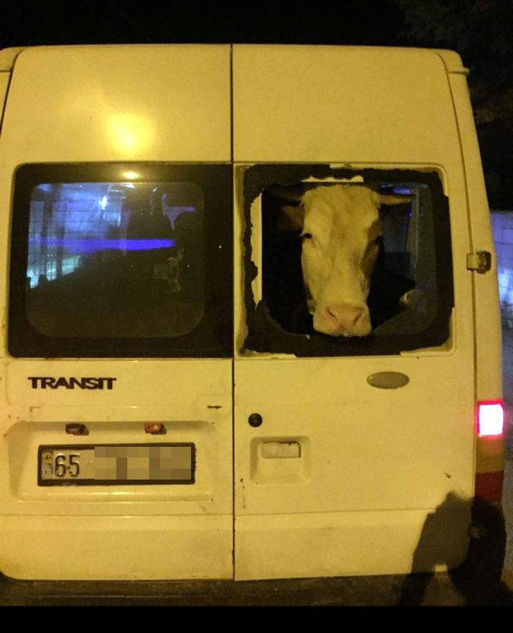 Minibüsle inek hırsızlığı