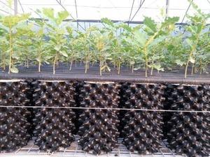 Kalitesine göre kilogram fiyatı 3 bin 500 Avro'ya kadar alıcı bulan trüf mantarını Giresun'un Alucra ilçesinde de yetiştirmek için çalışma başlatıldı