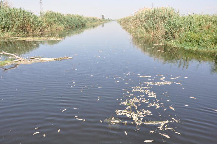 Ölü balıkları yiyen martılar da telef oldu
