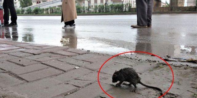 Şiddetli yağan yağmurdan ıslanan fare otobüs durağına sığındı
