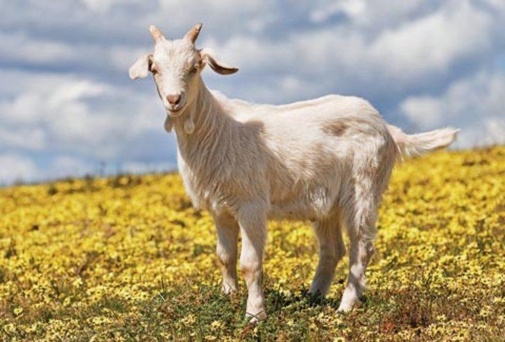 8) Zehirlenmiş keçi etinin zehirli olduğunu haber vermesi mucizesi