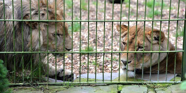 Almanya'da vahşi hayvan alarmı! 'Evlerinizden çıkmayın' uyarısı yapılıyor