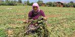 Ödemiş'te 15 dakikalık sağanak ve dolu tarım arazilerine zarar verdi