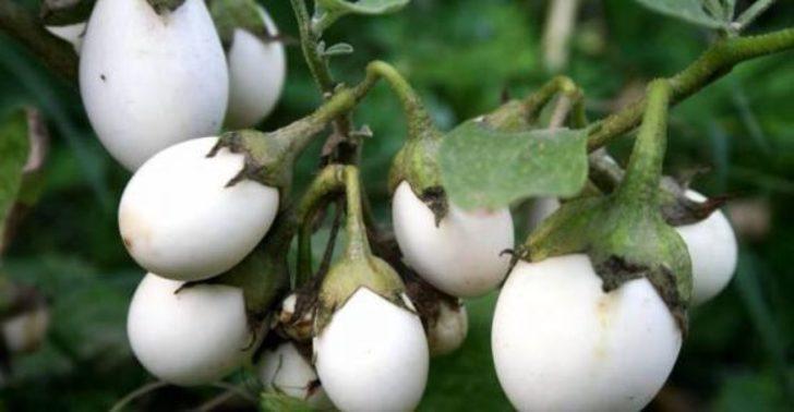 Hem süs hem şifa! Beyaz patlıcanın şaşırtan 10 faydası
