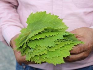 Tosya ilçesinde yetiştirilen Kahta üzümünün kilogramı 2 liradan satılırken, lezzetiyle ön plana çıkan yaprağı 20 liradan alıcı buluyor.