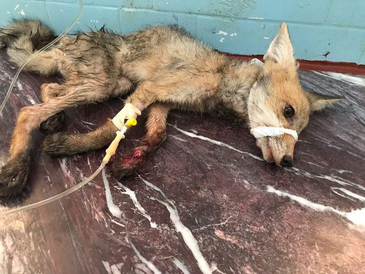 Kapanla yakalanan tilki, sopayla dövüldükten sonra 'öldü' diye bırakıldı