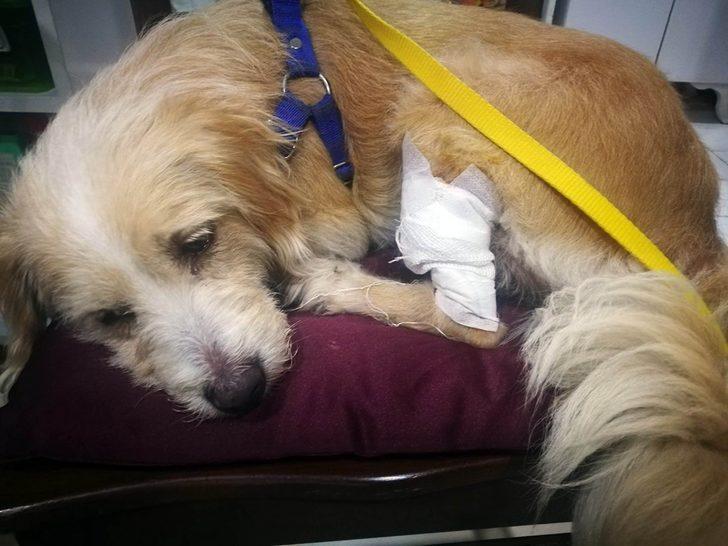 Samsun'da 3 gün önce kaybolan köpek yaralı bulundu