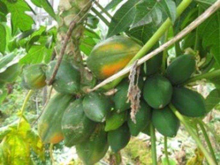 Anamur'da tropik meyveler yetişiyor