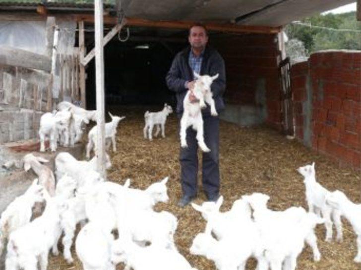 Saanen Keçileri Bilecik'e Uyum Sağladı