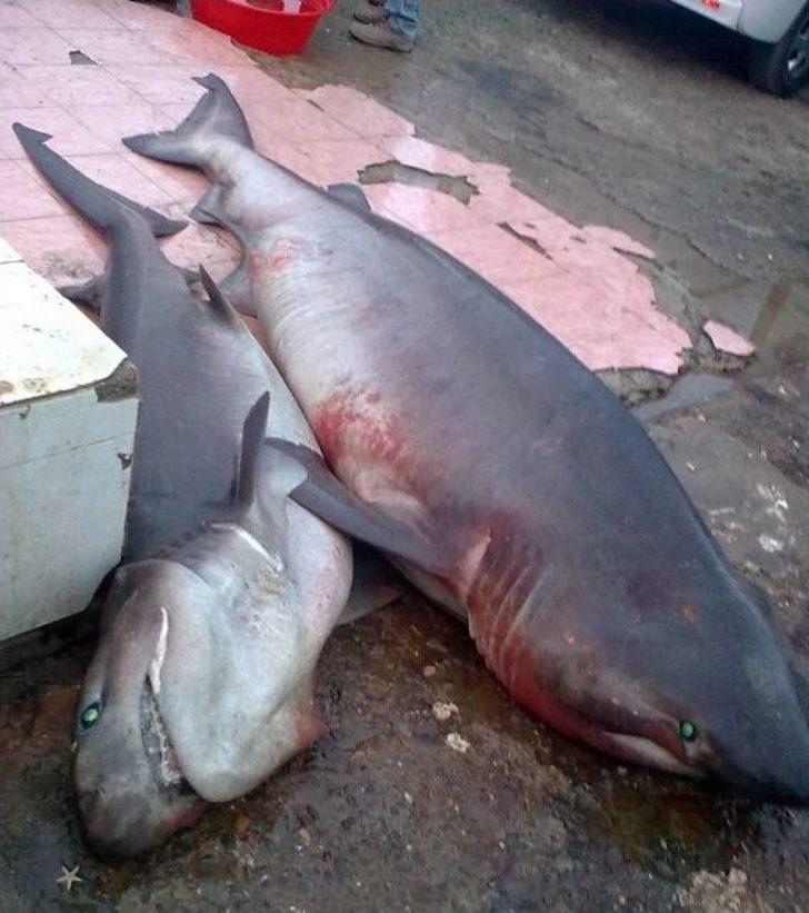 Hoşköy'de İki Köpek Balığı Yakalandı