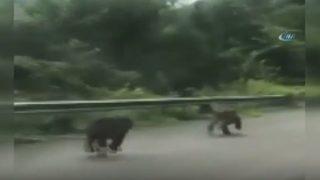 Karayoluna inen ayılar böyle görüntülendi
