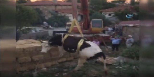 Çatıda mahsur kalan inek vinçle indirildi