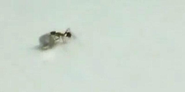 Hırsız karınca elmas çalarken yakalandı!