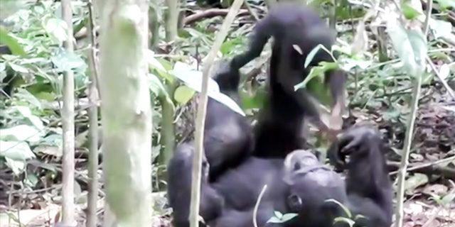 Anne maymunun bebeğiyle oynadığı oyun dikkat çekti