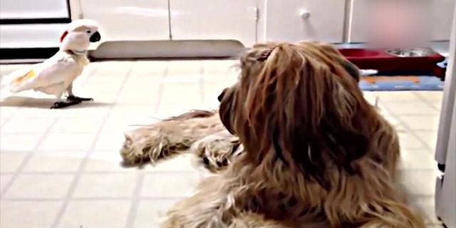 Papağanın köpek taklidi sosyal medyayı salladı