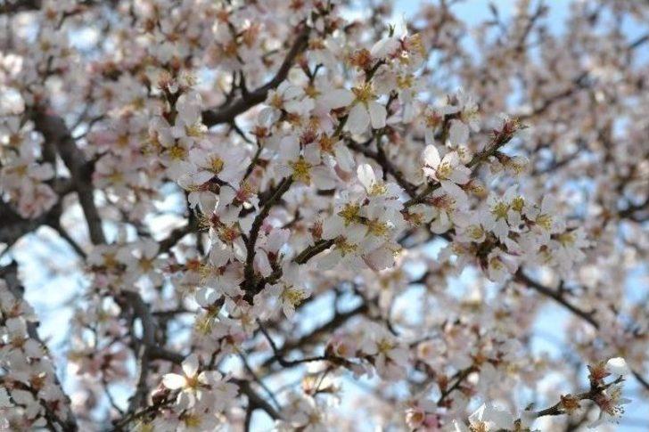 Edirnede Yalancı Baharda Badem Ağaçları çiçek Açtı Edirne Haberleri