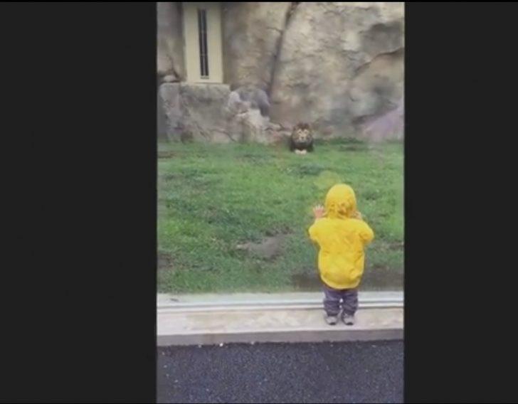 Bir Aslan, Hayvanat Bahçesinde Bir Çocuğu Yemeye Niyetlendi ve Komik Şekilde Duvara Çarptı