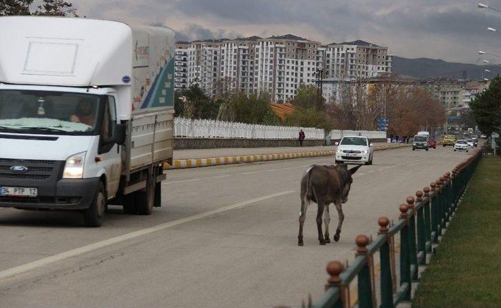 Trafikte İlerleyen Eşek Sürücülere Zor Anlar Yaşattı