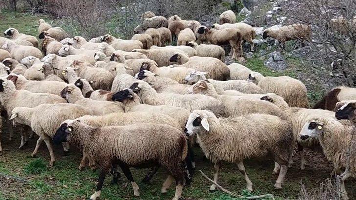 İzmit Belediyesi'nden Koyun Yetiştiriciliği Eğitimi