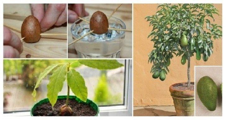 Evde avokado nasıl yetiştirilir diyenler için 6 püf noktası