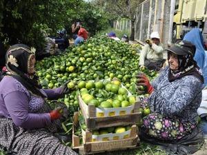 Hatay'da hasadı devam eden mandalinalar dalında 75 kuruştan, tezgahta 4 katı fiyatla satılıyor.