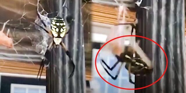 Çekirgeyi hızlıca avlayan örümcek