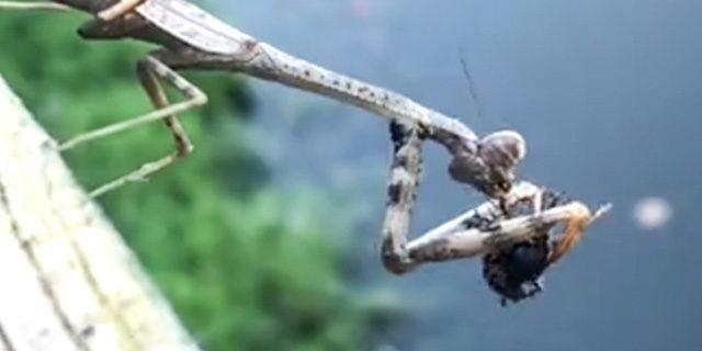 Peygamberdevesi böceği böyle yedi