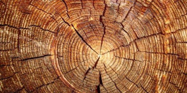"""Cambridge Üniversitesi bilim insanlarından """"ağaç halkası ajandası"""""""