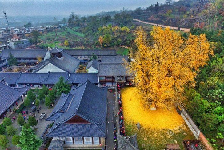 Dökülen Yaprakları Süpürmeye Kıyamayacağınız 1400 Yaşındaki Gingko Ağacı