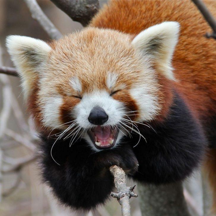 Doğanın Başka Bir Tatlış Armağanı: Kızıl Pandalar!