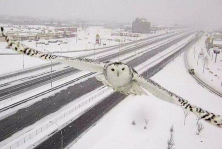 Memur Bey Vallahi Alkol Yok: Trafik Kamerasına Yakalanan Kar Baykuşu