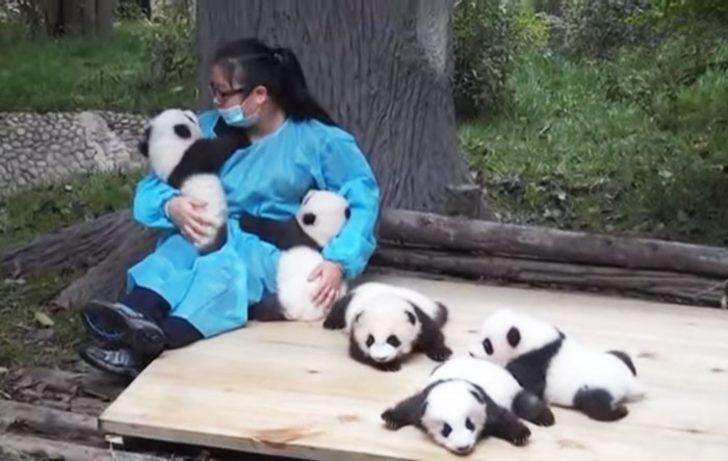 Koruma Merkezi Pandalara Bakıcı Arıyor. Hem De 32.000 Dolar Maaş İle!