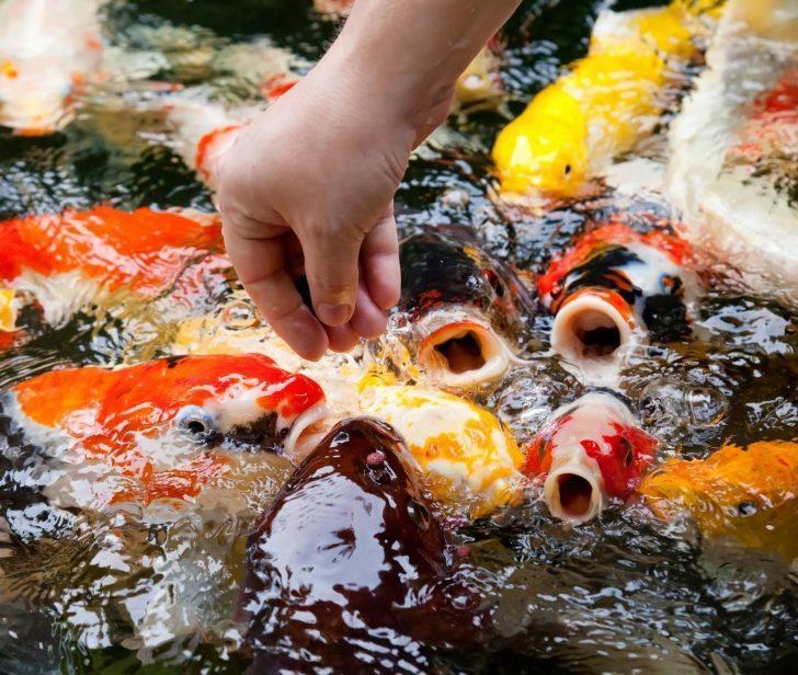 Balıklar Tat Alabilir mi?