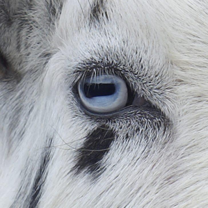 Keçilerin Gözleri Neden Bu Kadar Tuhaftır?