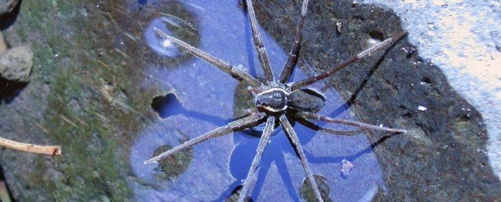 Balık Avlayan Örümcek Türü Keşfedildi!