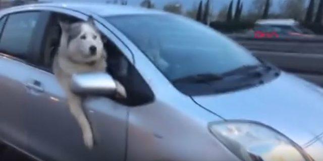 Sevimli köpeğin yolculuk keyfi kamerada