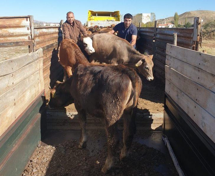 Sungurlu'da çiftçilere büyükbaş hayvan dağıtıldı