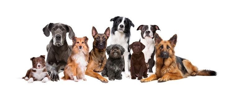 Köpek cinsleri: En popüler büyük ve küçük köpek cinsleri ile av köpeği cinslerinin özellikleri!
