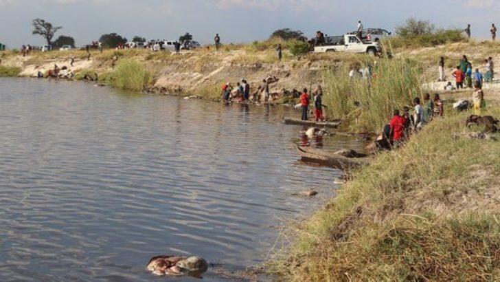 Aslanlardan kaçan 400 bufalo nehirde boğuldu: İnsanlar toplayıp yedi